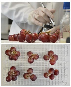 Tecnovino Botrytis cinerea IRTA UPV Candida sake