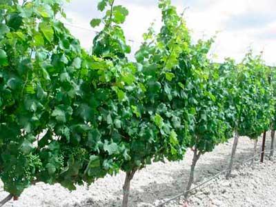 Tecnovino madera de la vid conservar vino 3