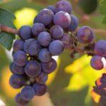 Fega fija en 42 millones de hectolitros el vino y mosto de la campaña 2015-2016