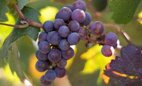 Diseñan una lengua electrónica para conocer el grado de maduración óptimo de la uva