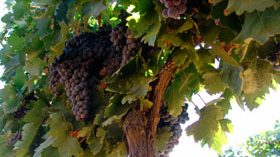 La estrategia de riego y el aclareo de racimos influyen en la calidad del vino tempranillo