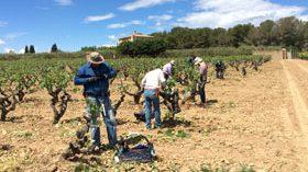 La variedad ancestral tinta Moneu vuelve al Penedès de la mano de Bodegas Torres