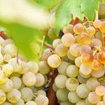 La evolución del viñedo de Castilla-La Mancha: en 2016 constituye casi la mitad del español