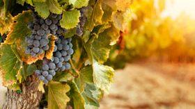 Un novedoso proyecto busca reducir la maceración de los vinos tintos