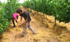 El acolchado de paja reduce un 78% la erosión de los suelos de viñedo