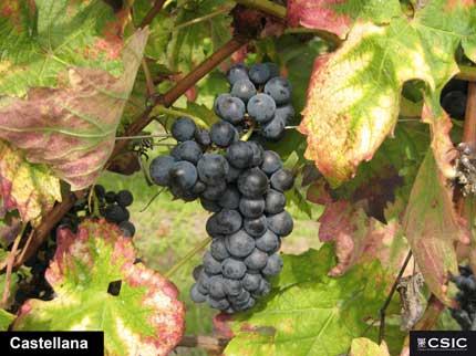 Tecnovino tesis riego aclareo vino tempranillo CSIC