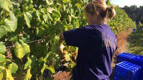 Terras Gauda apuesta por la viticultura sostenible para obtener abono orgánico de la uva