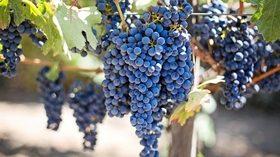 El Grupo Televitis desarrolla una tecnología que permite determinar de forma no invasiva la composición de la uva en el propio viñedo