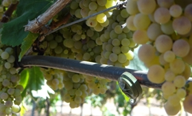 el impacto del riego en la calidad de los vinos elaborados con uva blanca Macabeo