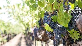 Simposio sobre la protección integrada del viñedo