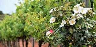 El cava se vuelca con la primavera: doce bodegas se unen en un programa para disfrutar entre viñas