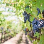 El viñedo ecológico y sus vinos siguen ganando terreno en España