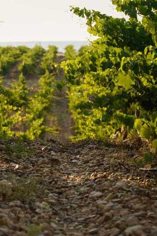 Tecnovino vino Camino de Magarin Bodega Magarin vinedo