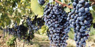 Cooperativas Agro-alimentarias prevé una cosecha de 23,8 millones de hectolitros de vino y mosto