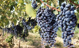 Tecnovino vendimia vinas Cooperativas Agro alimentarias 328x200