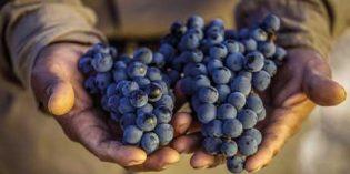 Se pagarán más de 75 millones de euros de indemnización por los daños en uva de vinificación