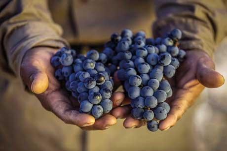 Tecnovino danos uva de vinificacion Agroseguro
