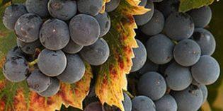 Italia será el primer productor mundial de vino, seguido de cerca por España y Francia