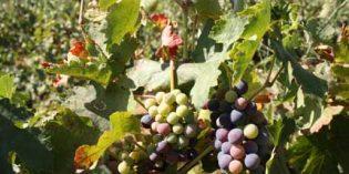 ¿Es posible retrasar la maduración de la uva? Ensayan una técnica frente al cambio climático
