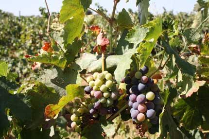Tecnovino retrasar la maduracion de la uva Cicytex Irta 1