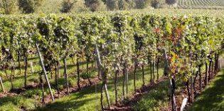 El MAPAMA analiza las nuevas plantaciones de viñedo que se concederán para 2018