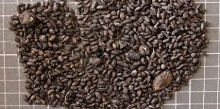 El ADN de semillas de vid encontradas podría desvelar 2.000 años de viticultura en La Rioja