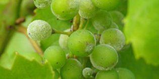 Cuatro fungididas biológicos para viñedos: control, cuidado y protección respectuosos con el entorno