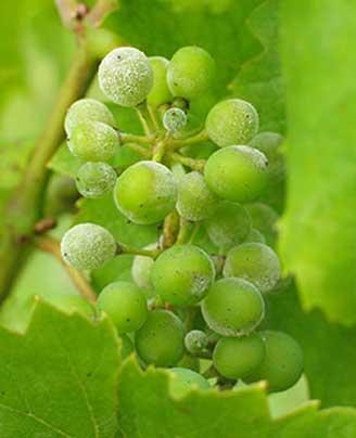 Tecnovino fungididas biologicos para vinedos