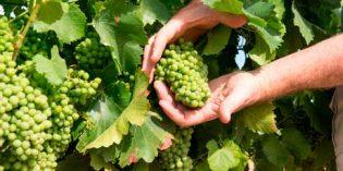 El plazo para contratar el seguro de primavera de uva de vino con cobertura frente a la helada termina el 25 de marzo