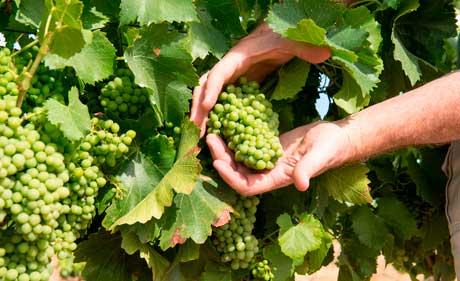 Tecnovino seguro de primavera de uva de vino Agroseguro