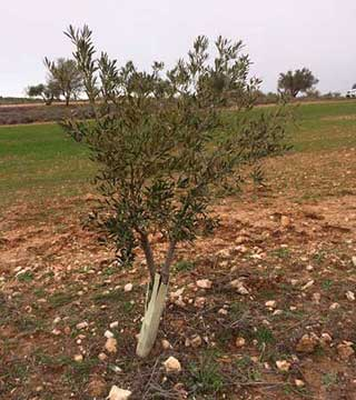 Tecnovino olivo infectado xylella fastidiosa en Madrid