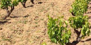 La DOP Alicante solicita más protección para el viñedo local
