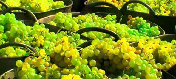 Tecnovino DO Valdeorras uvas vendimia