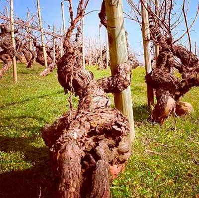 Tecnovino vinos de Valdesil vinas de godello