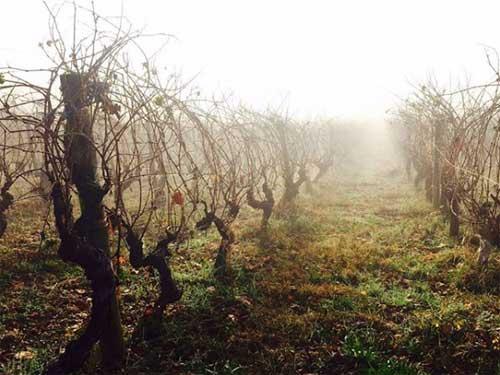 Tecnovino vinos de Valdesil vinedo