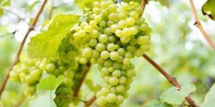 ¿Cómo distinguir los vinos ecológicos?