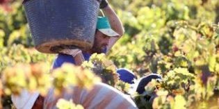 Cooperativas Agro-alimentarias Castilla-La Mancha estima un 25% más de producción en esta vendimia