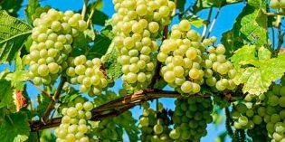 Malestar por el descenso de los precios de la uva en Castilla-La Mancha durante esta vendimia
