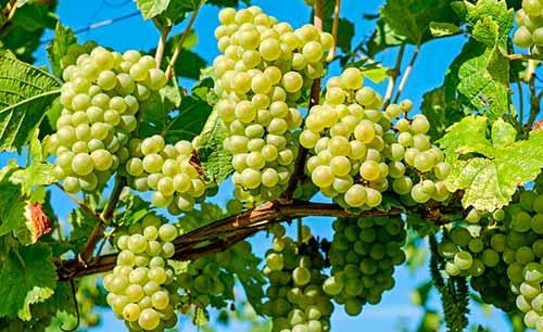 Tecnovino precios de la uva vendimia Union de Uniones C LM