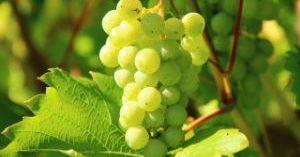 Unión de Uniones prevé precios razonables de la uva esta vendimia
