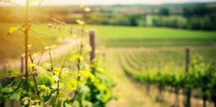 Así serán los vinos de la añada 2018: más ligeros, con poco cuerpo y un aroma más floral