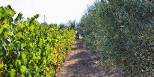 ENAC lanza tres nuevos programas de acreditación para ensayos en vinos, aceites de oliva y fertilizantes