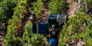 La Ribeira Sacra finaliza la vendimia con más de 6 millones de kg de uva recogidos