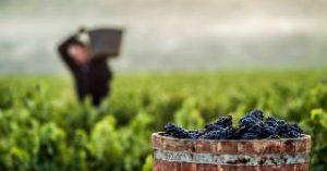 La vendimia en la DOCa Rioja finaliza con 486 millones de kg de uva de extraordinaria sanidad