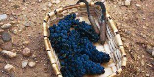 Cerca de 78 millones de kilos de uva han sido recogidos durante la vendimia en la Denominación de Origen Navarra