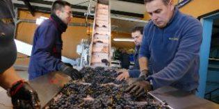 Ribera del Duero recoge 125 millones de kg de uva de alta calidad, su segunda mayor cosecha