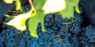 La campaña de vendimia de la DOP Alicante se cierra con más de 30,4 millones de kilos de uva cosechados