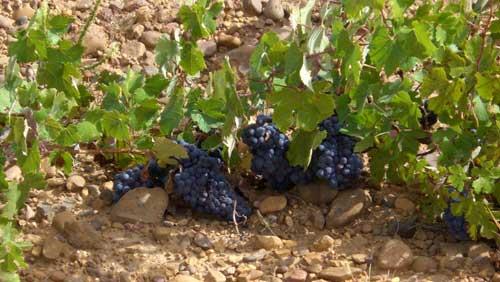 Tecnovino viñedo de vino Cumal de Bodega Dostares