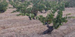 La DOP Alicante inmersa en un proyecto de identificación y recuperación de variedades antiguas