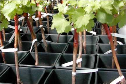 Tecnovino impresion para el sector vitivinicola Toshiba 2